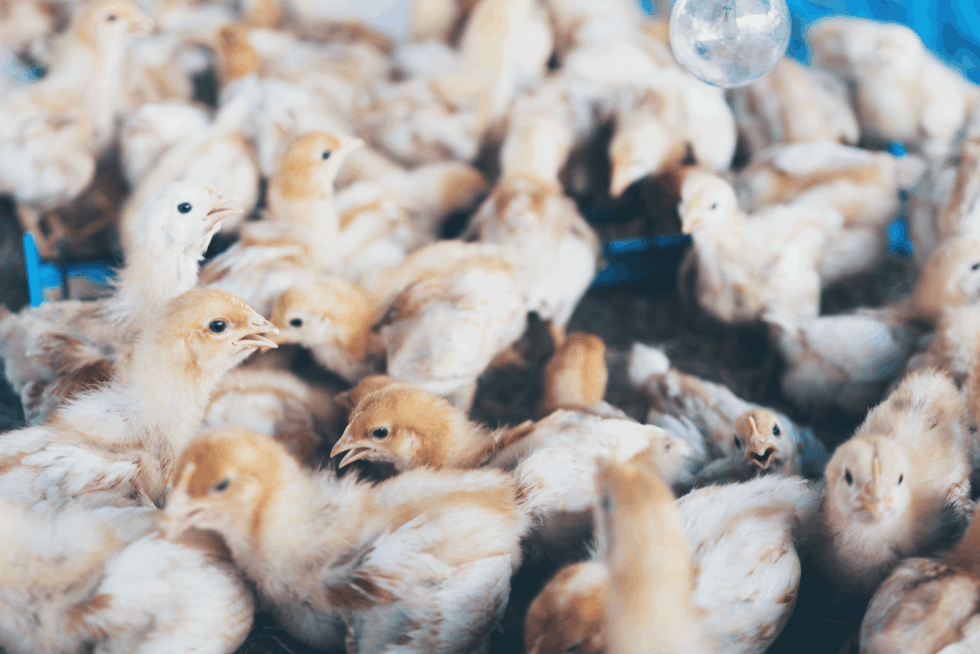 """Cage-free on a package of chicken: Does It Add Value?"