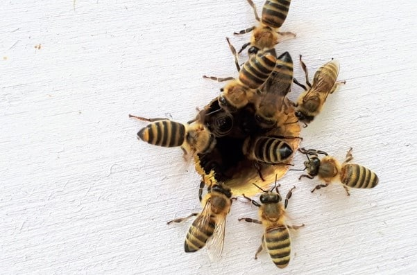 Bees in Wall